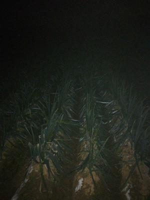 山东省枣庄市滕州市日本钢葱 30~50cm 净葱