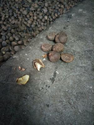 这是一张关于野生山茶油的产品图片