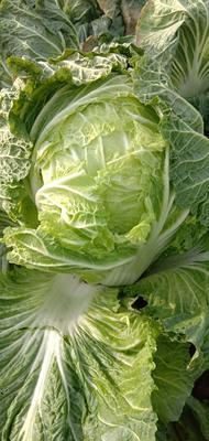 这是一张关于青杂三号白菜 10~15斤 毛菜的产品图片