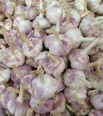 辽宁省辽阳市灯塔市紫皮大蒜 5.5cm 多瓣蒜