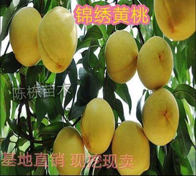 这是一张关于锦绣黄桃苗 0.5~1米的产品图片
