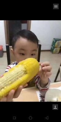 黑龙江省哈尔滨市松北区中糯二号玉米 去壳 甜糯