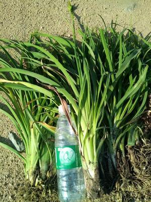 这是一张关于萱草的产品图片