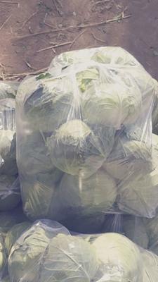河南省平顶山市汝州市绿甘蓝 2.0~2.5斤