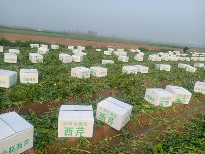 河南省周口市郸城县美国西芹 40cm以下 3.0斤以上 大棚种植