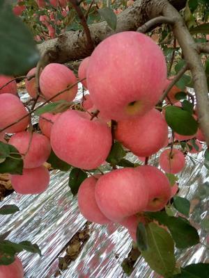 山东省青岛市平度市红蜜脆苹果苗 1~1.5米