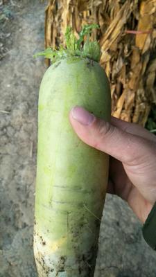 河南省南阳市邓州市青皮萝卜  2~2.5斤