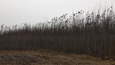 河北省衡水市深州市红富士苹果苗 3~3.5米
