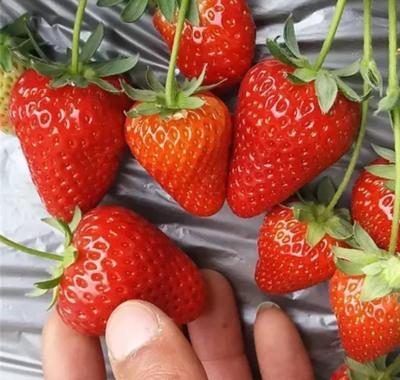 山东省临沂市平邑县奶油草莓苗 10~20公分 地栽苗