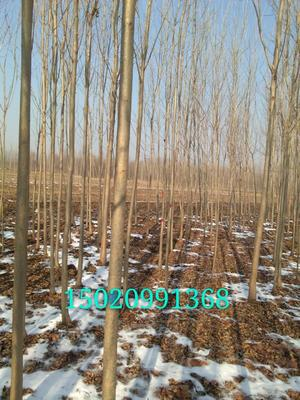山东省临沂市临沭县小叶白蜡树 3.5~5米