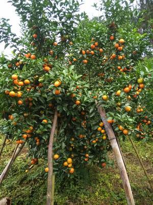广西壮族自治区贺州市八步区沙糖桔 3.5 - 4cm 1两以下