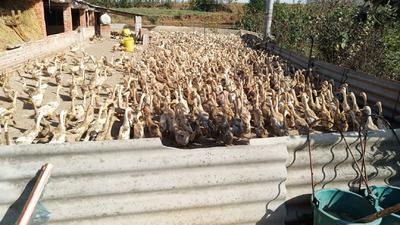 湖北省襄阳市宜城市蛋鸭 2-3斤 母 全圈养