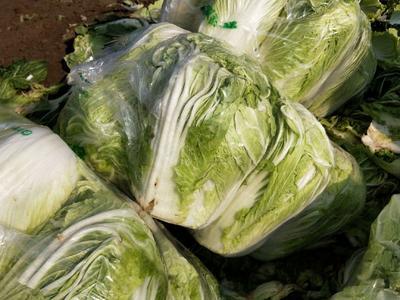 这是一张关于北京新三号白菜 6~10斤 净菜的产品图片
