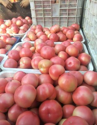 山东省滨州市惠民县硬粉番茄 精品 硬粉 弧三以上