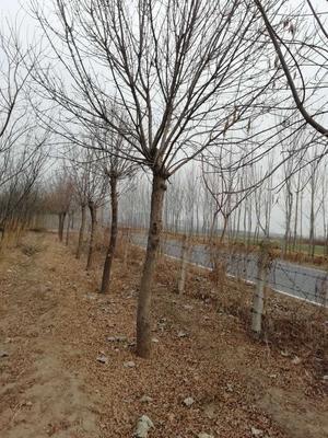 河北省保定市南市区老式白蜡 2.5~3米
