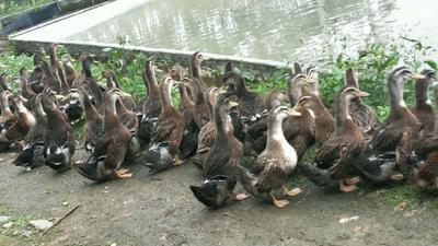 广东省清远市英德市麻鸭 5-6斤 统货 全散养