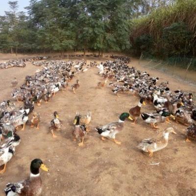 广西壮族自治区玉林市容县青头麻鸭 4-5斤 公 半圈养半散养