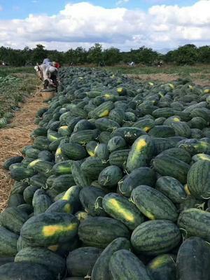 云南省红河哈尼族彝族自治州红河县黑皮瓜 有籽 1茬 8成熟 5斤打底