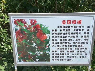 这是一张关于美国红枫的产品图片