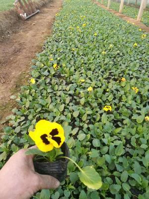 山东省潍坊市青州市草花  红黄褐三色堇 蝴蝶花