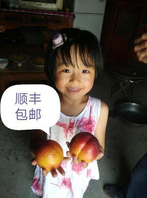 未来一号油桃苗 0.5~1米