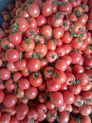 山东省临沂市平邑县硬粉番茄 通货 弧二以上 硬粉