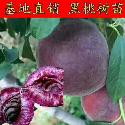 山东省临沂市平邑县黑桃苗 1~1.5米