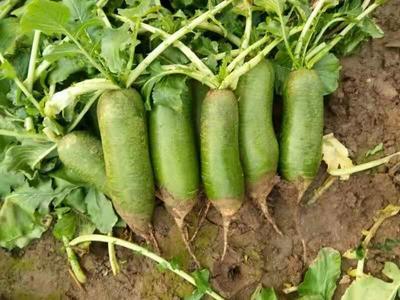 天津西青区沙窝萝卜 2~2.5斤