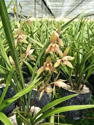 这是一张关于彩虹兰花 含盆的产品图片