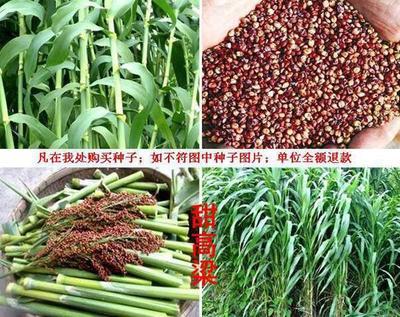 山东省济宁市嘉祥县甜高粱种子 ≥98% ≥95% ≤7%