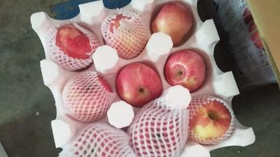 陕西省宝鸡市扶风县红富士苹果 纸袋 统货 70mm以上