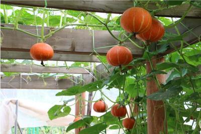 山东省济南市历城区红栗南瓜种子 95%