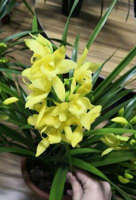 这是一张关于小神童兰花 含盆的产品图片