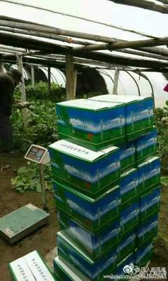 天津西青区沙窝萝卜 1.5~2斤