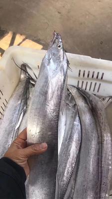 江苏省泰州市靖江市东海带鱼 野生 0.5公斤以下