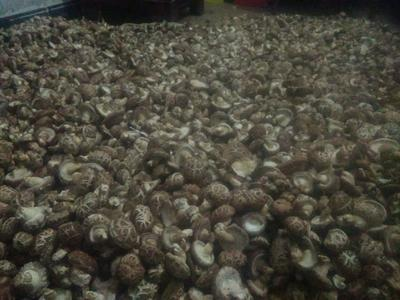河南省南阳市方城县原木干香菇 散装 1年