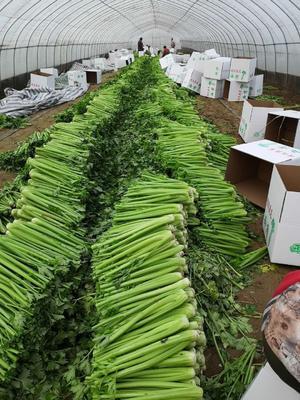 山东省菏泽市鄄城县美国西芹 55~60cm 1.0~1.5斤 大棚种植