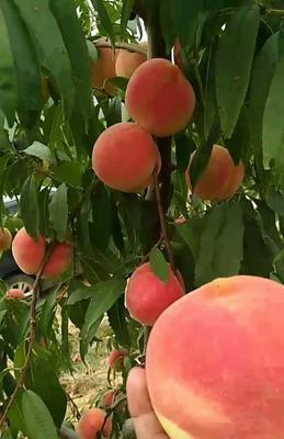 这是一张关于冬桃树苗 1~1.5米的产品图片