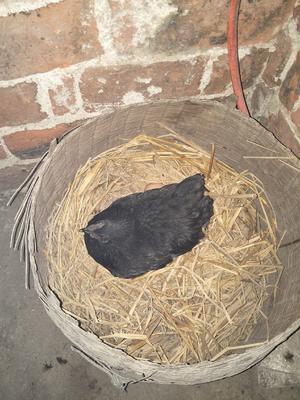 这是一张关于五黑鸡鸡蛋 食用 礼盒装的产品图片