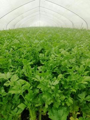 安徽省阜阳市临泉县美国文图拉芹菜 55~60cm 大棚种植 0.5斤以下