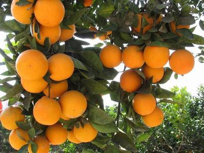 这是一张关于冰糖橙 55 - 60mm 4两以下的产品图片