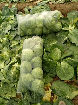 江苏省徐州市沛县中甘21甘蓝 混装通货 还有2到3斤不等。