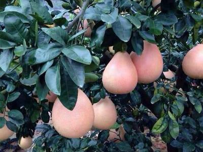 这是一张关于三红蜜柚 2斤以上的产品图片