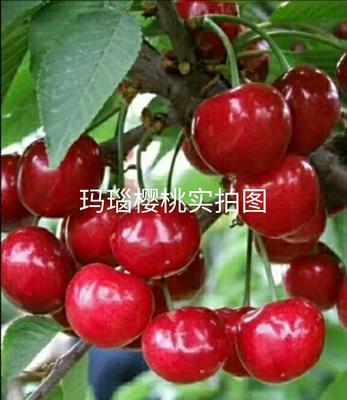 贵州省毕节市大方县玛瑙红樱桃 15-20mm 8-12g