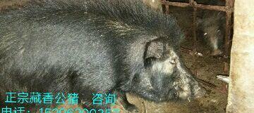 这是一张关于藏巴香猪 40-60斤的产品图片