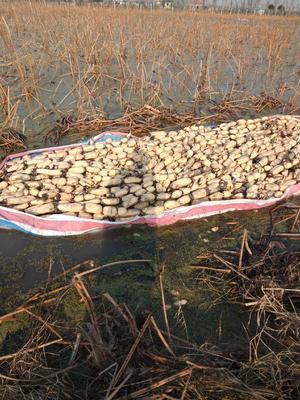 这是一张关于白莲藕 35~40cm 5-7cm的产品图片