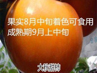 山东省泰安市岱岳区日本次郎甜柿苗