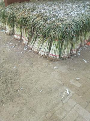 河北省保定市蠡县长白大葱 混装通货 毛葱