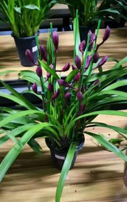 这是一张关于小红袍兰花 含盆的产品图片
