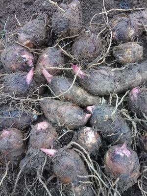 云南省红河哈尼族彝族自治州蒙自市红芋 3cm以上